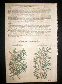 Gerards Herbal 1633 Hand Col Botanical Print. Olive & Willow Trees